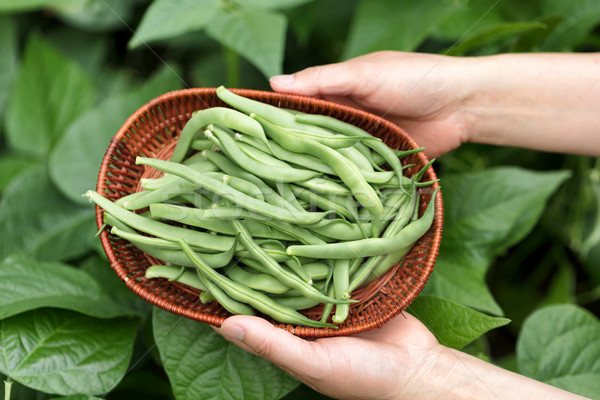 Hands holding basket of freshly harvested green beans  Stock photo © tab62
