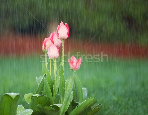 Blooming Flowers in Springtime Rain  Stock photo © tab62