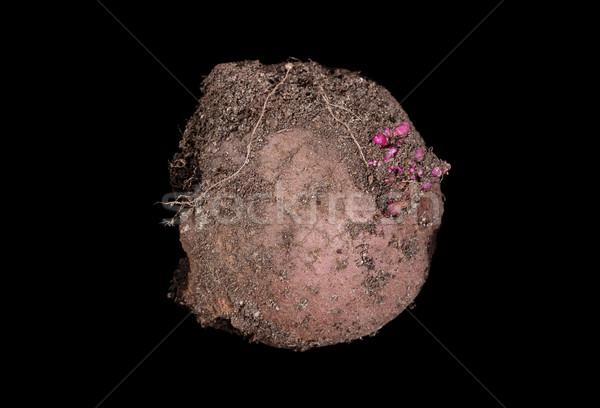 Soiled raw potato isolated on black background  Stock photo © tab62
