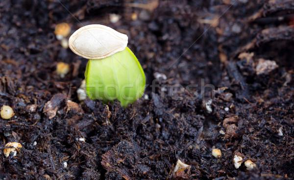 Foto stock: Novo · abobrinha · crescente · semente · concha