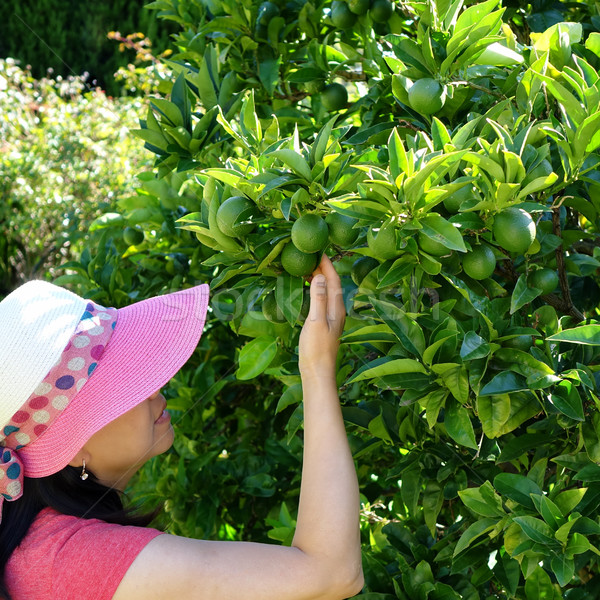 Woman harvesting fresh limes from tree during bright day Stock photo © tab62