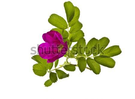 バラ パーフェクト フル 咲く 白 光 ストックフォト © tab62