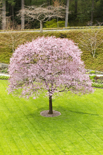 Photo stock: Cerise · arbre · vert · centre · printemps · jardin