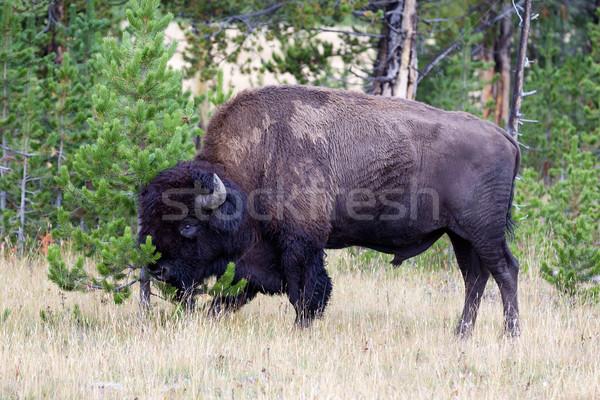Large Buffalo rubbing head against small Pine Tree Stock photo © tab62