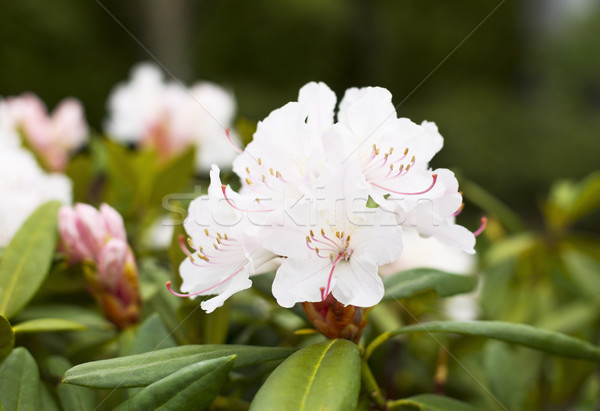 Washington State Flower- Rhododendron in Bloom Stock photo © tab62
