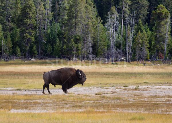 シニア 北 牛 側面図 アメリカン ストックフォト © tab62