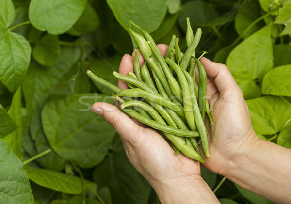 Hands filled with Fresh Green Beans from the Garden  Stock photo © tab62
