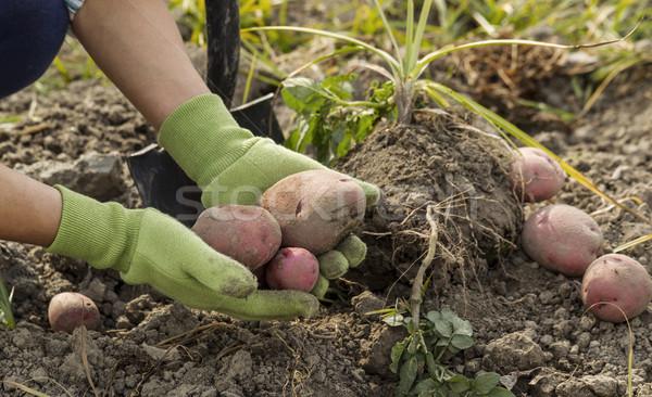 新鮮な 赤 地上 作業 手 ストックフォト © tab62