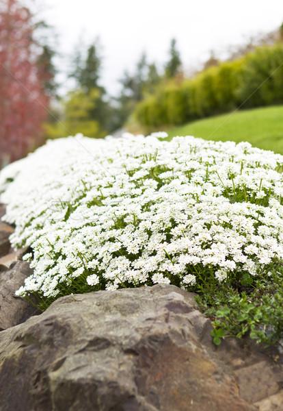 Path of White Flowers on Rocks Stock photo © tab62