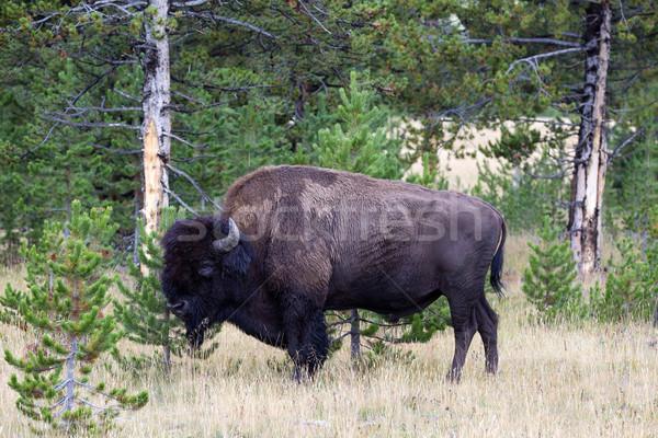 North American Buffalo Grazing near edge of woods during late su Stock photo © tab62