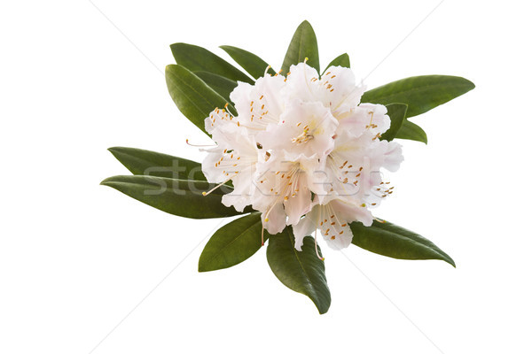 White and Pink Rhododendron flower in Full Seasonal Bloom  Stock photo © tab62