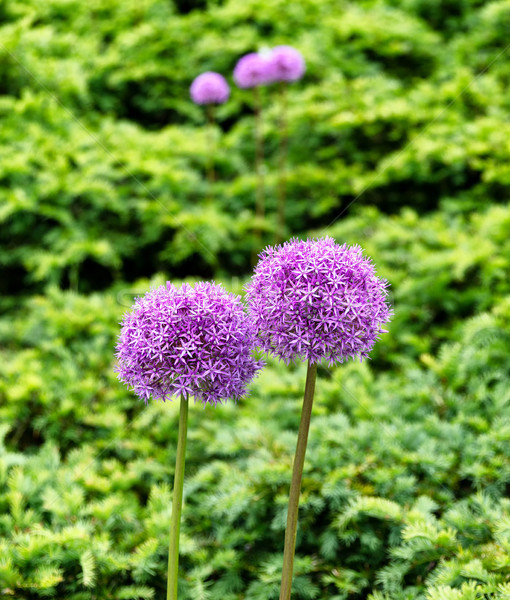 Pristine purple flowers in full bloom  Stock photo © tab62