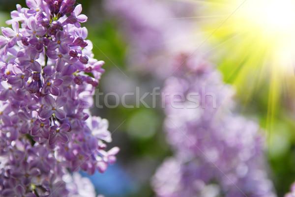 красивой сирень цветы цветок природы Сток-фото © taden