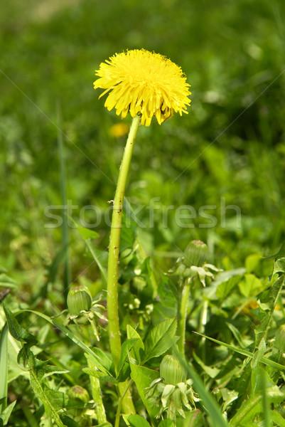 Diente de león campo flores primavera forestales verano Foto stock © taden