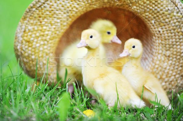 Bolyhos három aranyos ül szalmakalap fű Stock fotó © taden