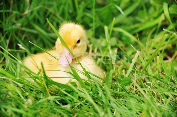 Eendje cute pluizig Pasen vergadering gras Stockfoto © taden