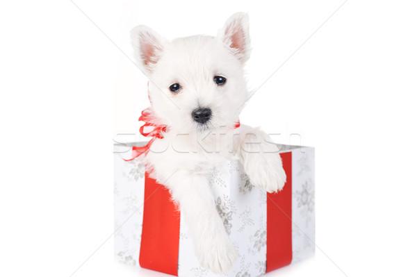 cute puppy in present box Stock photo © taden