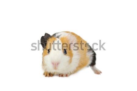 Kobay kahverengi beyaz yalıtılmış doğa hayvanlar Stok fotoğraf © taden