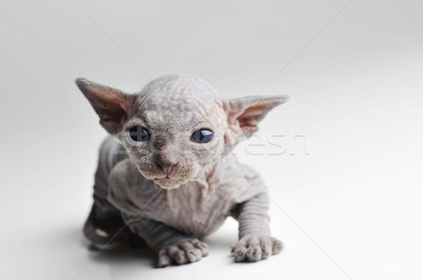 Aranyos kopasz baba macska közelkép kutya Stock fotó © taden