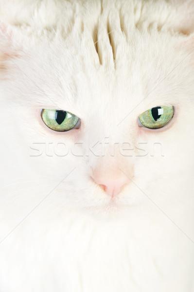 Fehér házimacska aranyos izolált szemek természet Stock fotó © taden