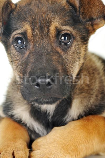 коричневая собака волос животные студию красивой домашние Сток-фото © taden