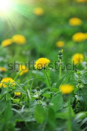 Paardebloemen voorjaar boerderij veld gras Stockfoto © taden