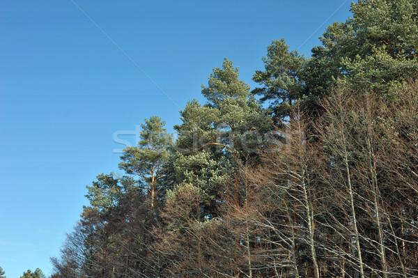 Erdő kék ég fenyőfa tájkép természet park Stock fotó © taden