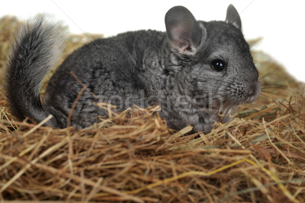 Gris Nice chinchilla mensonges soft foin Photo stock © taden