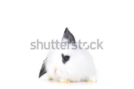 small white rabbit  Stock photo © taden