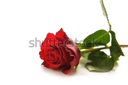 赤いバラ 美しい 孤立した 白 愛 自然 ストックフォト © taden