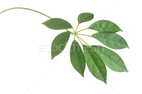 stem with leaves Stock photo © taden