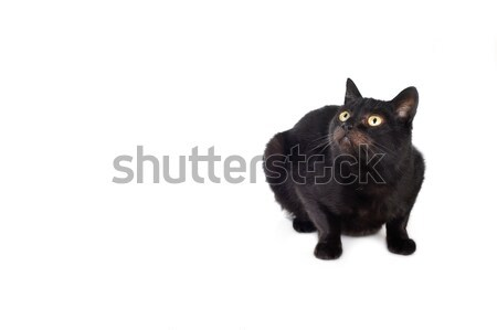 Gato preto isolado branco cabelo retrato animais Foto stock © taden