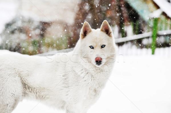 White huskey close up winter photo Stock photo © taden