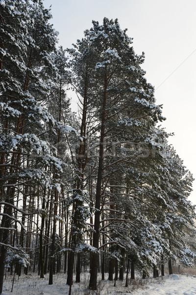 Invierno paisaje forestales cubierto nieve árbol Foto stock © taden