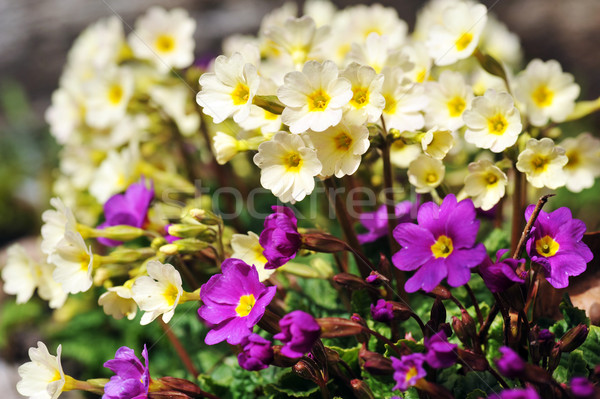 Blossoming flowers of  primrose  Stock photo © taden