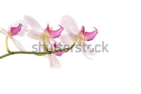 Pembe orkide güzel beyaz bahçe Stok fotoğraf © taden