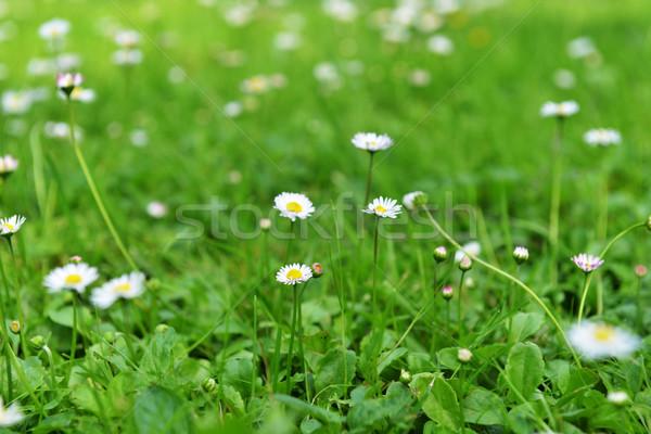 Margaritas hierba verde flores primavera Foto stock © taden
