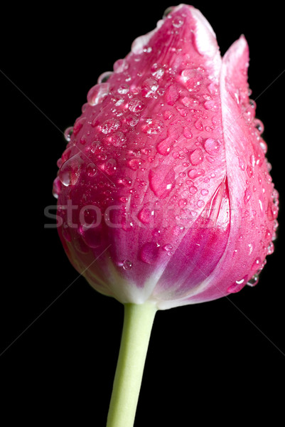 red tulip with water drops Stock photo © taden