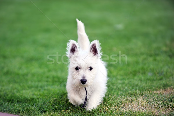 Witte hond klein groene gazon gras Stockfoto © taden