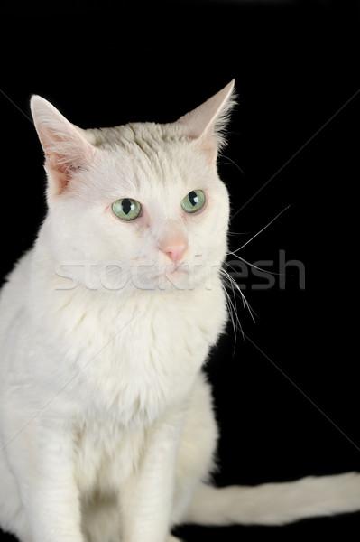 Blanco gato doméstico cute aislado ojos naturaleza Foto stock © taden
