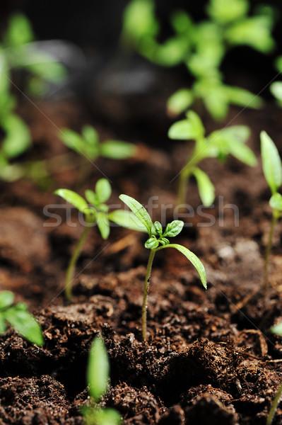 томатный земле области зеленый грязи Сток-фото © taden