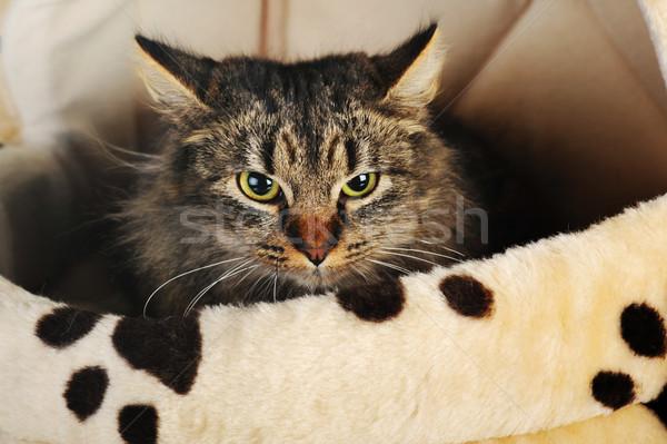 Szürke csíkos macska fiatal imádnivaló aranyos Stock fotó © taden