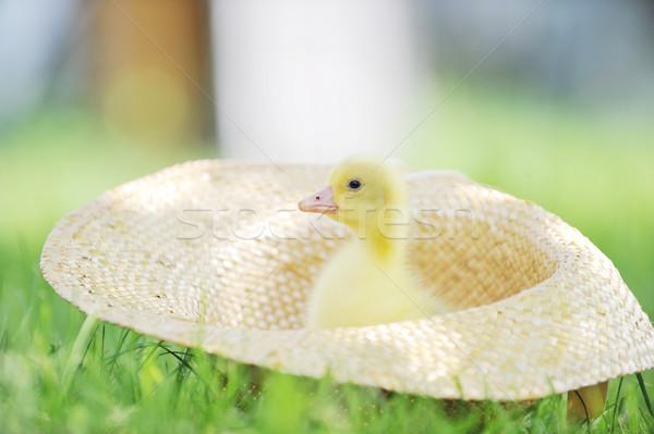 Kabarık ördek yavrusu sevimli oturma hasır şapka çim Stok fotoğraf © taden