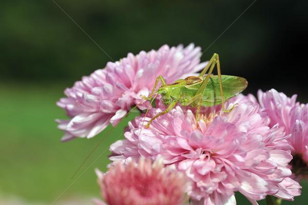 グラスホッパー 花 ピンクの花 春 オレンジ スペース ストックフォト © taden