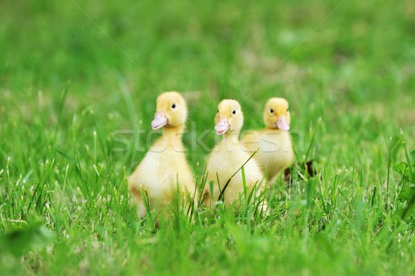 Três fofo garotas grama verde grama criança Foto stock © taden