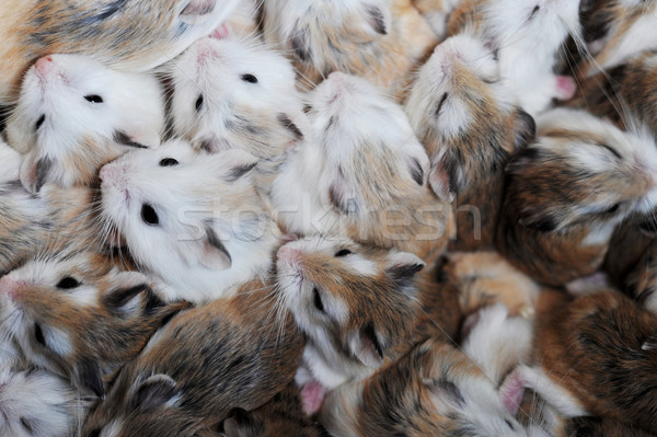 small hamsters Stock photo © taden