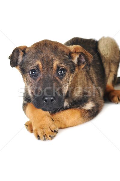 Stockfoto: Bruine · hond · haren · dieren · studio · mooie · huisdieren