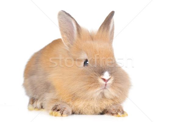 Stock photo: brown  fluffy rabbit