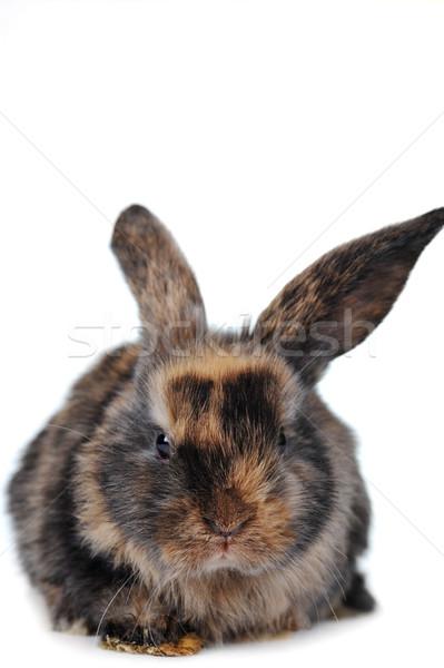 Kahverengi kabarık tavşan doğa hayvanlar renk Stok fotoğraf © taden