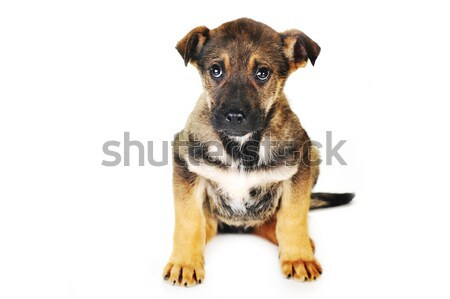 Stockfoto: Bruine · hond · vergadering · haren · dieren · studio · mooie